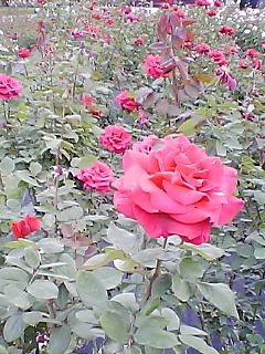 薔薇園^^