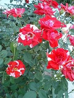 練乳がかかった薔薇